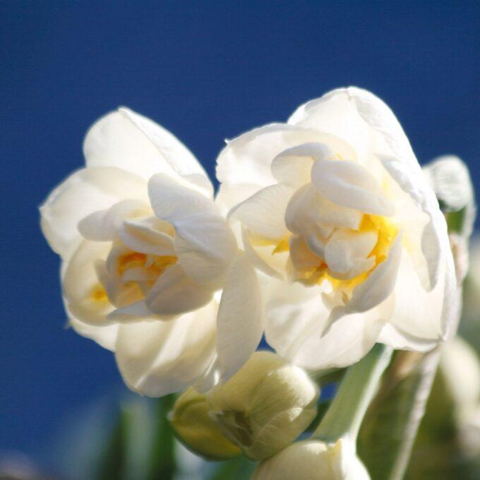 Hvit, fylt påskelilje Bridal Crown narciss