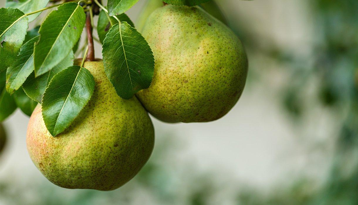 nærbilde av to pærer på pæretre