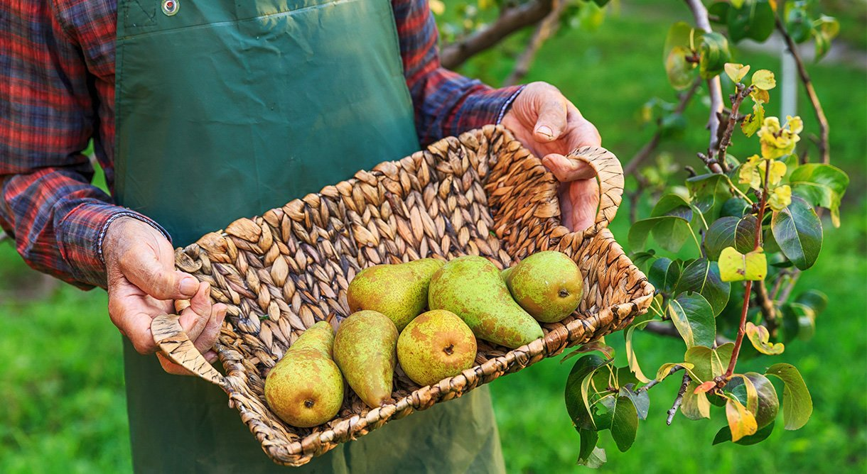 gartner holder kurv med pærer i hage