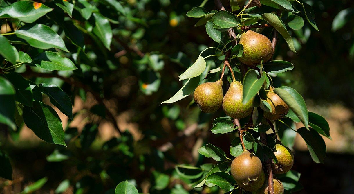 pæretre med brune pærer på mørk bakgrunn