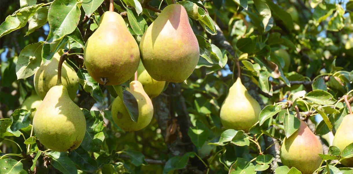 pæretre med mange pærer i sollys