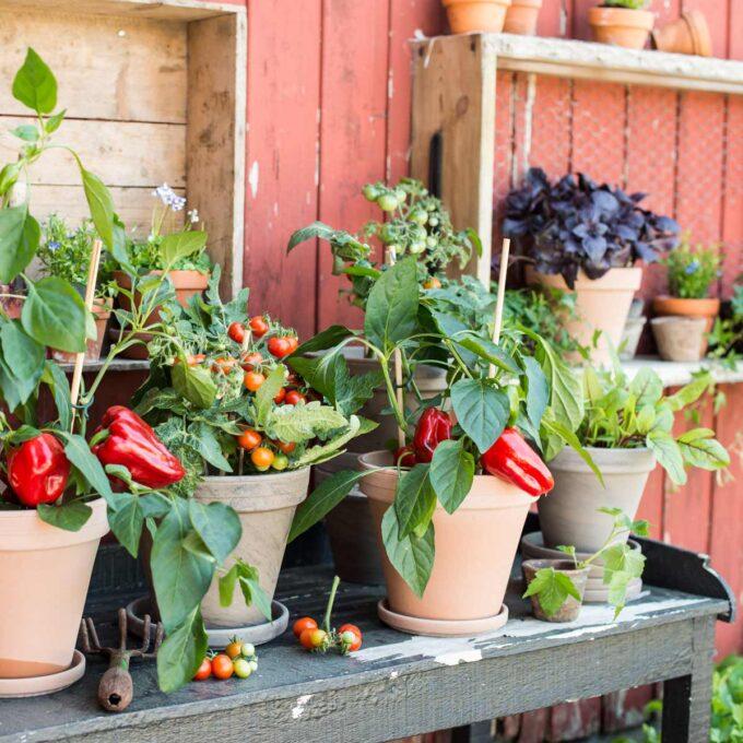 Egendyrkede paprika og tomater i potter