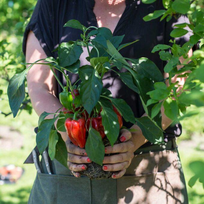 Paprikaplante med rød paprika plantes om i hagen