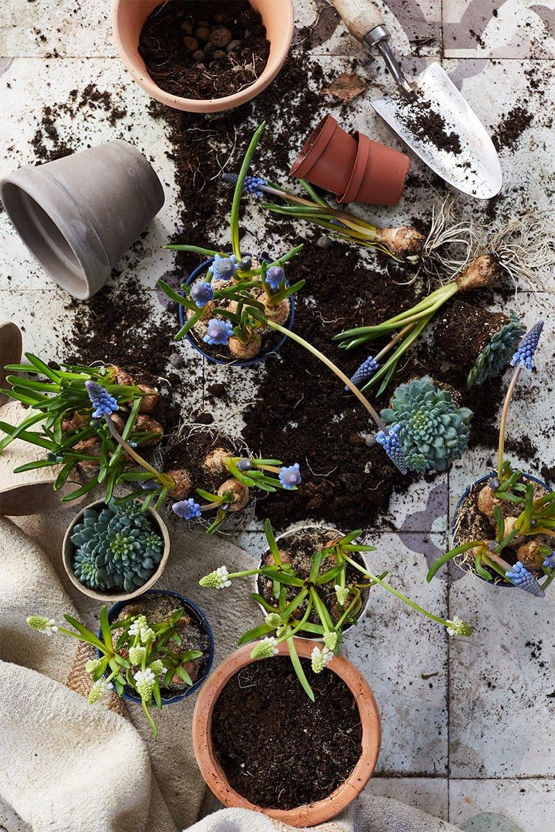 Planting av perleblomst i krukker fylt med jord