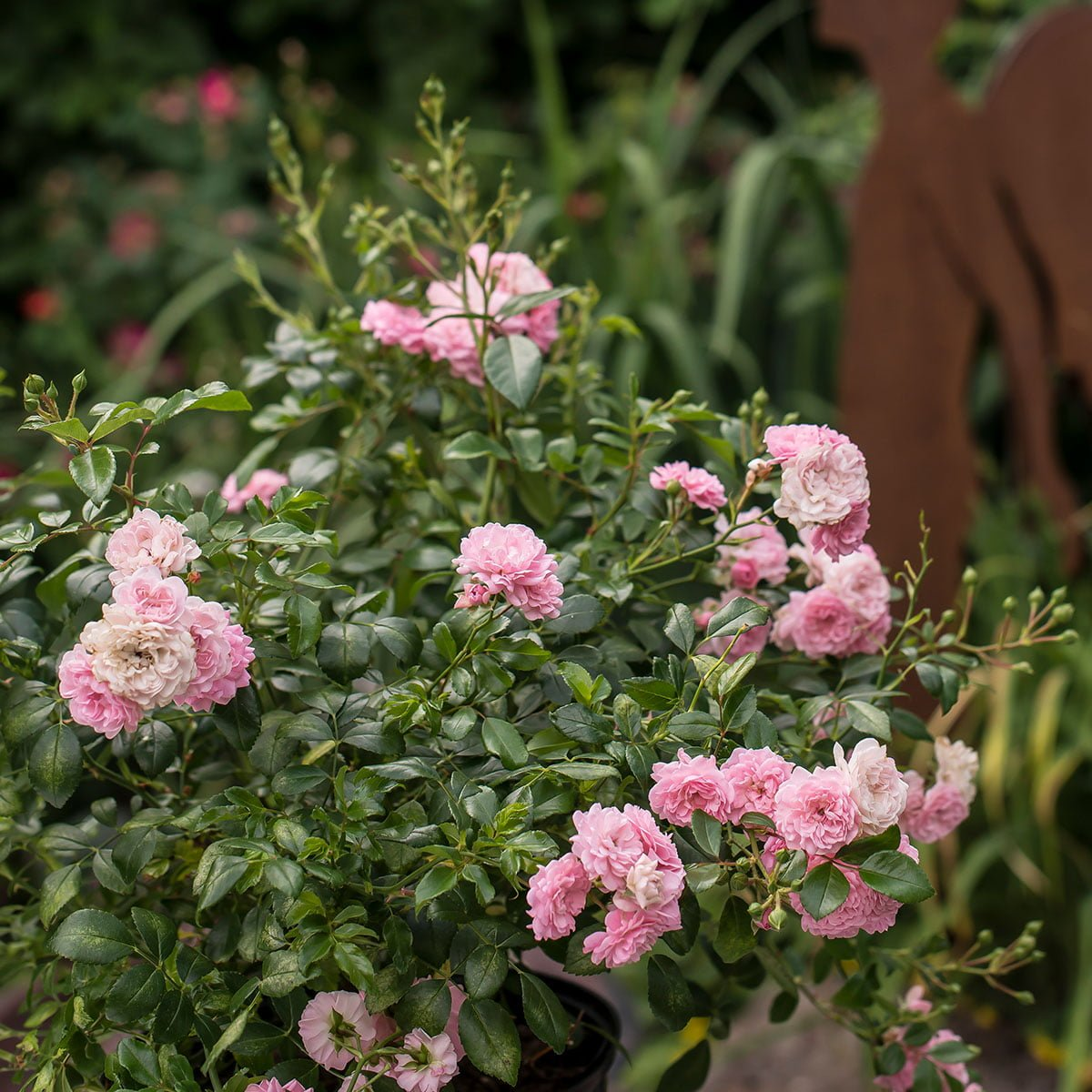 Splinternye Bunndekkerose 'Pink The Fairy' - Hageland JR-38