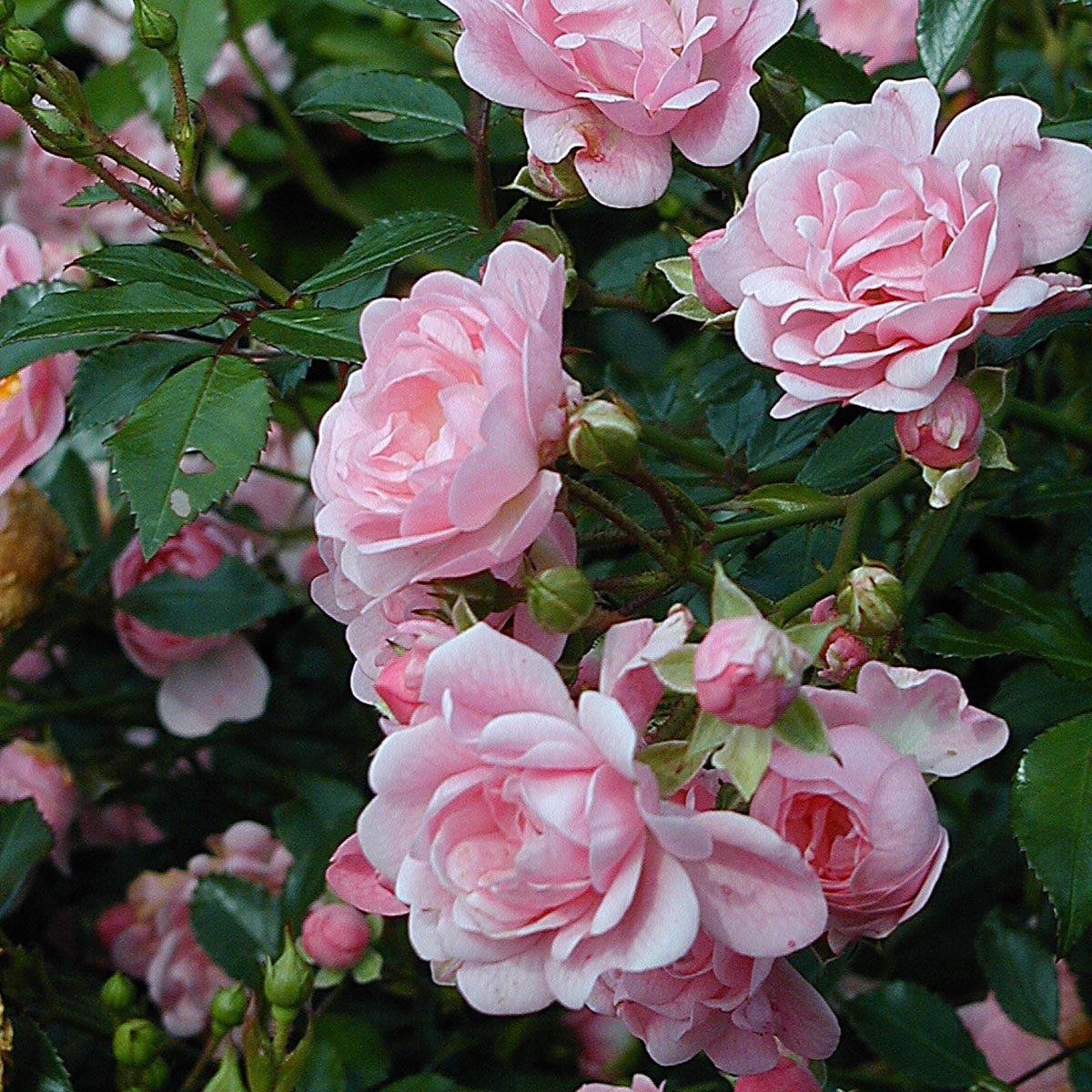 Højmoderne Bunndekkerose 'Pink The Fairy' - Hageland RH-73