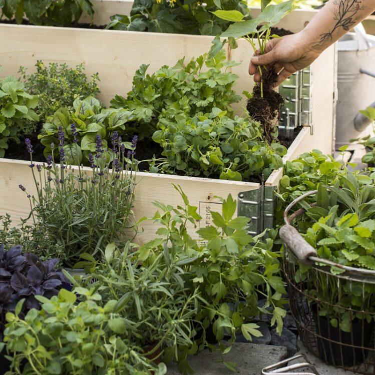 Mengder av ulike krydderplanter og grønnsaksplanter plantes i pallekarm