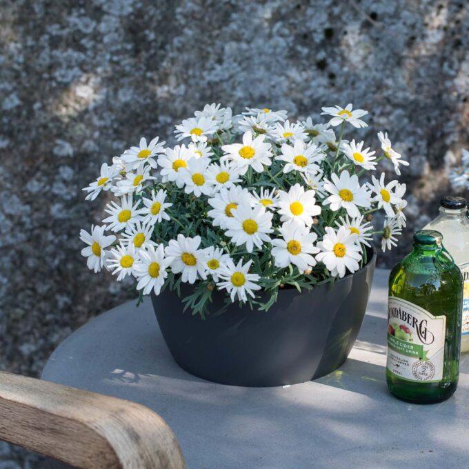 Grå enkel planteskål med hvite margeritter