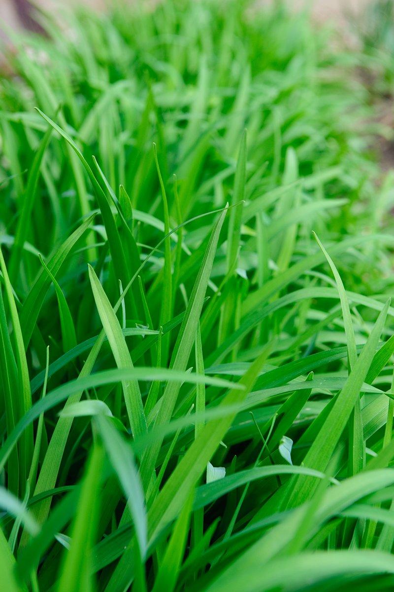 Nærbilde av grønt gress