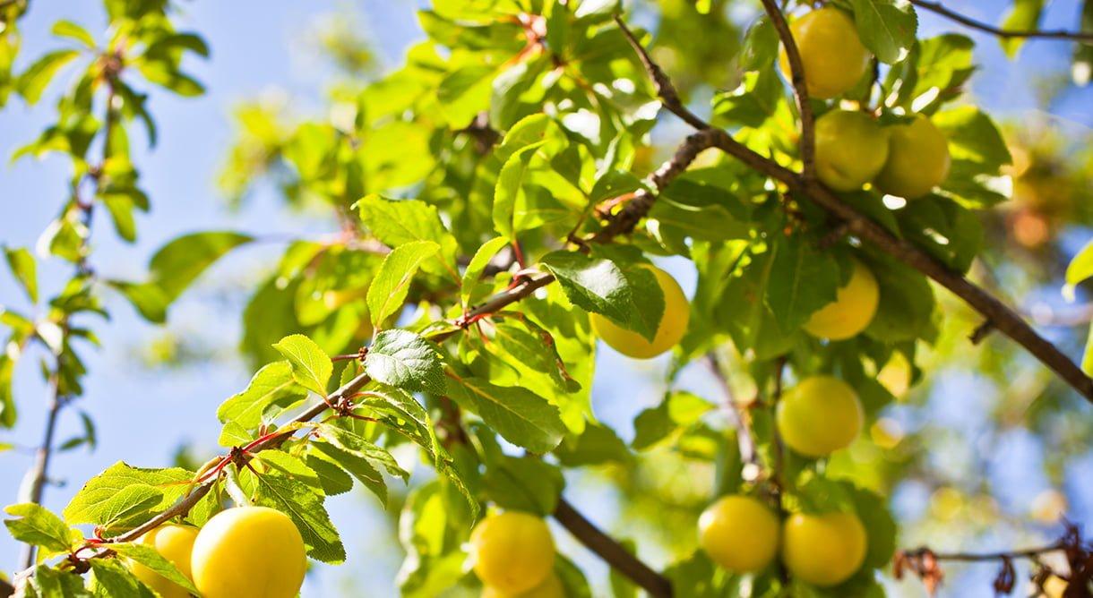 gule plommer på plommetre i sollys