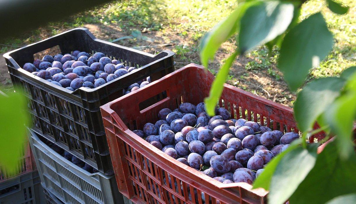 blå plommer i kasser i hage