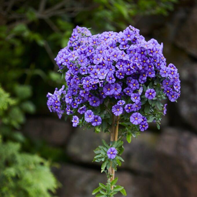 oppstammede sommerblomster, som trives på solrik, lun plass der den vil blomstre hele sommeren med blå vakre blomster