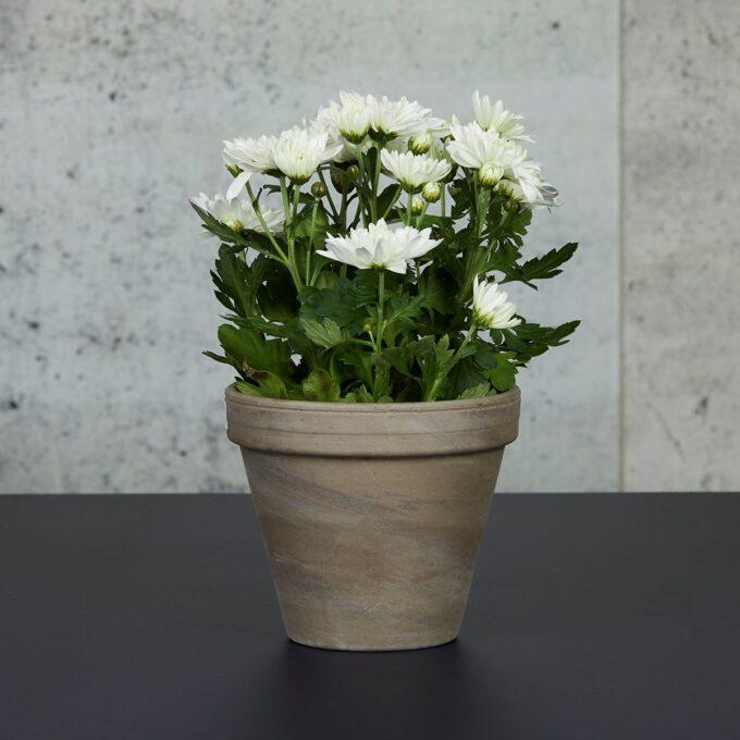 Pottekrysanthemum finnes i et utall av farger trives best på et lyst sted regelmessig med vann