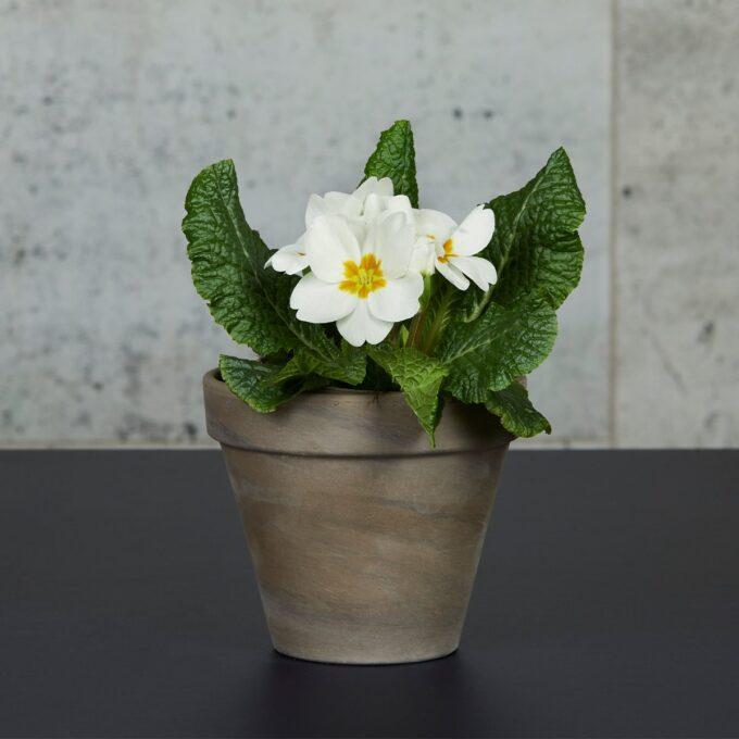 Primula er vårtegnet fremfor noe. Primula trives best i et lyst vindu, og gjerne på et litt kjølig sted