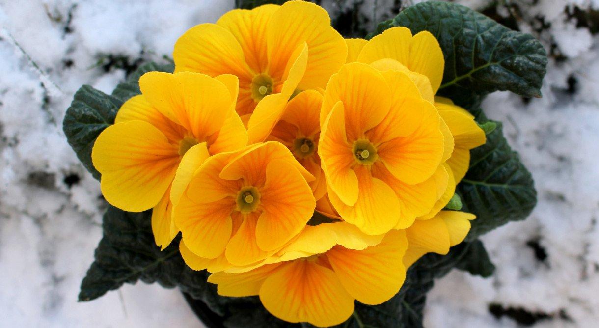 Primula vårblomst gul