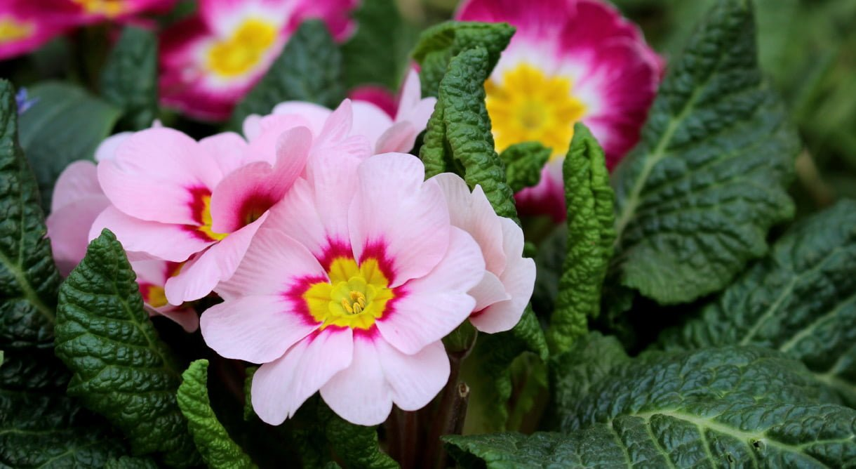 Primula vårblomst rosa