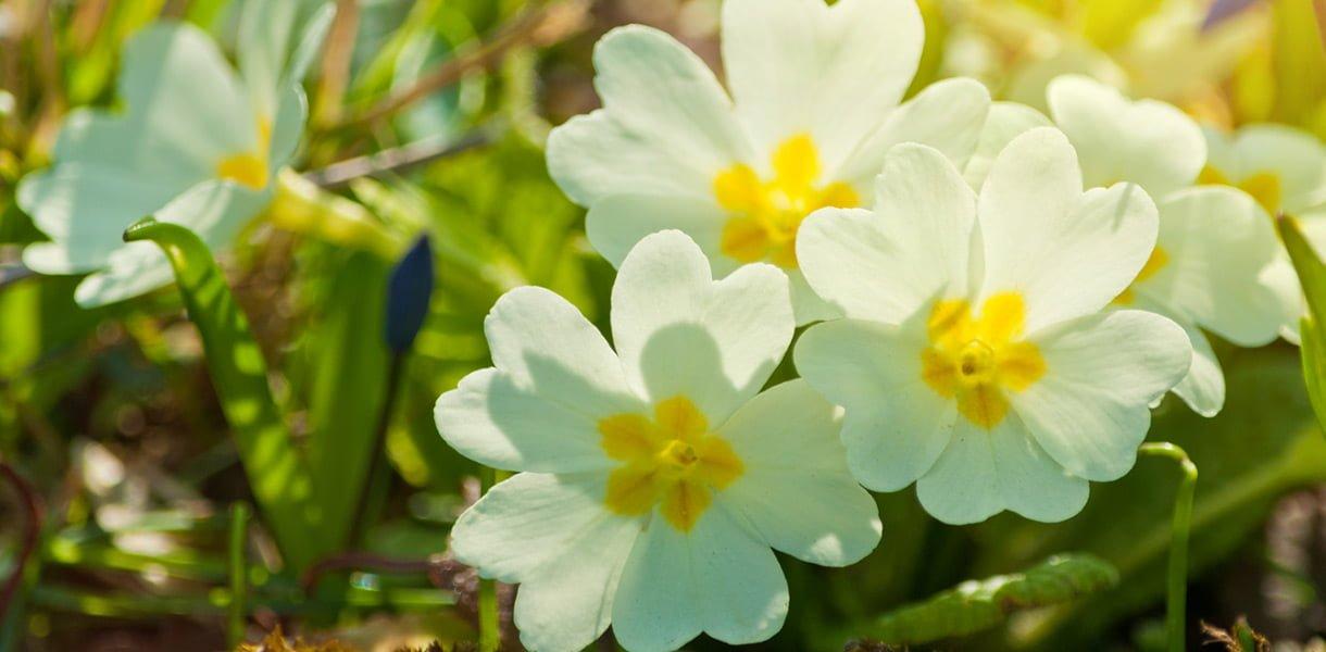 Primula hvit