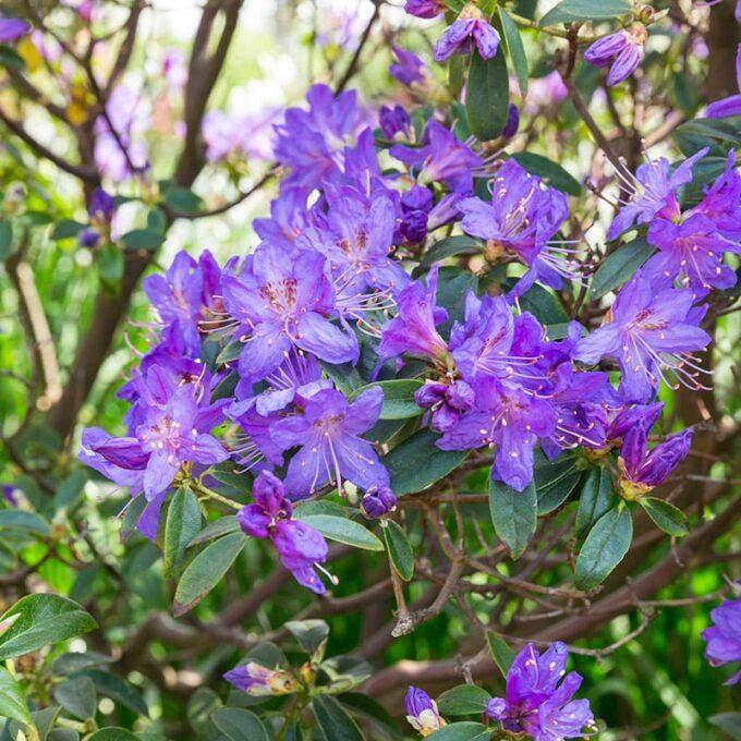Dvergrhododendron 'Azurella'