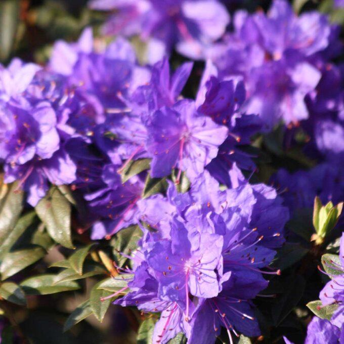Denne er en vakker plante med godt bladverk og mørke, fiolette blomster i mai/juni