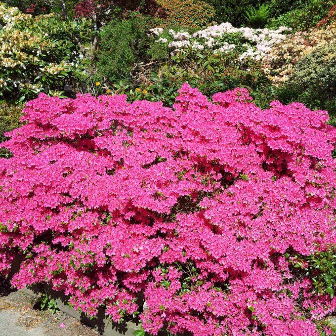 Små blomster i juni. Dekorativ til avskjæring. Tett kompakt vekst. Den beste japanske Asalia. Ca høyde etter 5 år: 30 cm, 10 år: 50 cm. H-4