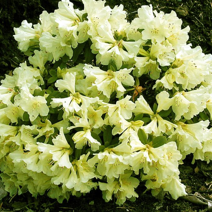 Dvergrhododendron 'Patty Bee' er en rhododendron med tett, god vekst og frodiggrønt, delvis vintergrønt bladverk