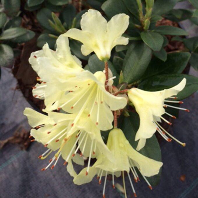 'Princess Ann' – vakkert bladverk med lys gule blomster i mai-juni. Delvis vintergrønn og vakker plante!