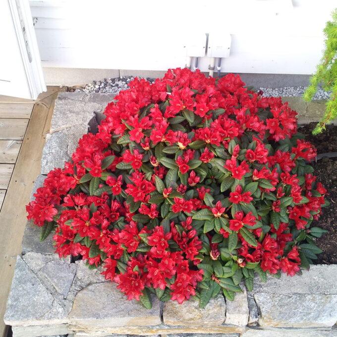 Rhododendronart som danner busk med tett og bred vekst. Finnes i mange ulike farger og str. Trives solrikt til halvskygget