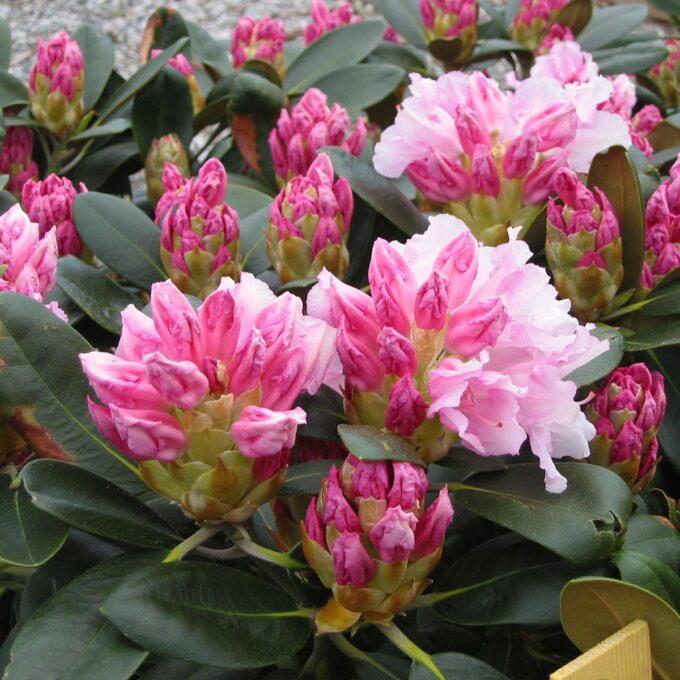 Busk med kompakt og avrundet vekst. Bladene er mørkt grønne, og får ofte et filtbelegg både på over- og undersiden av bladen