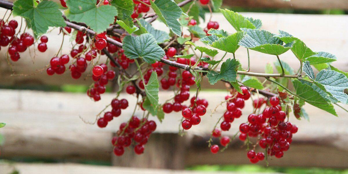 Rips gren av busk med treverk i bakgrunn