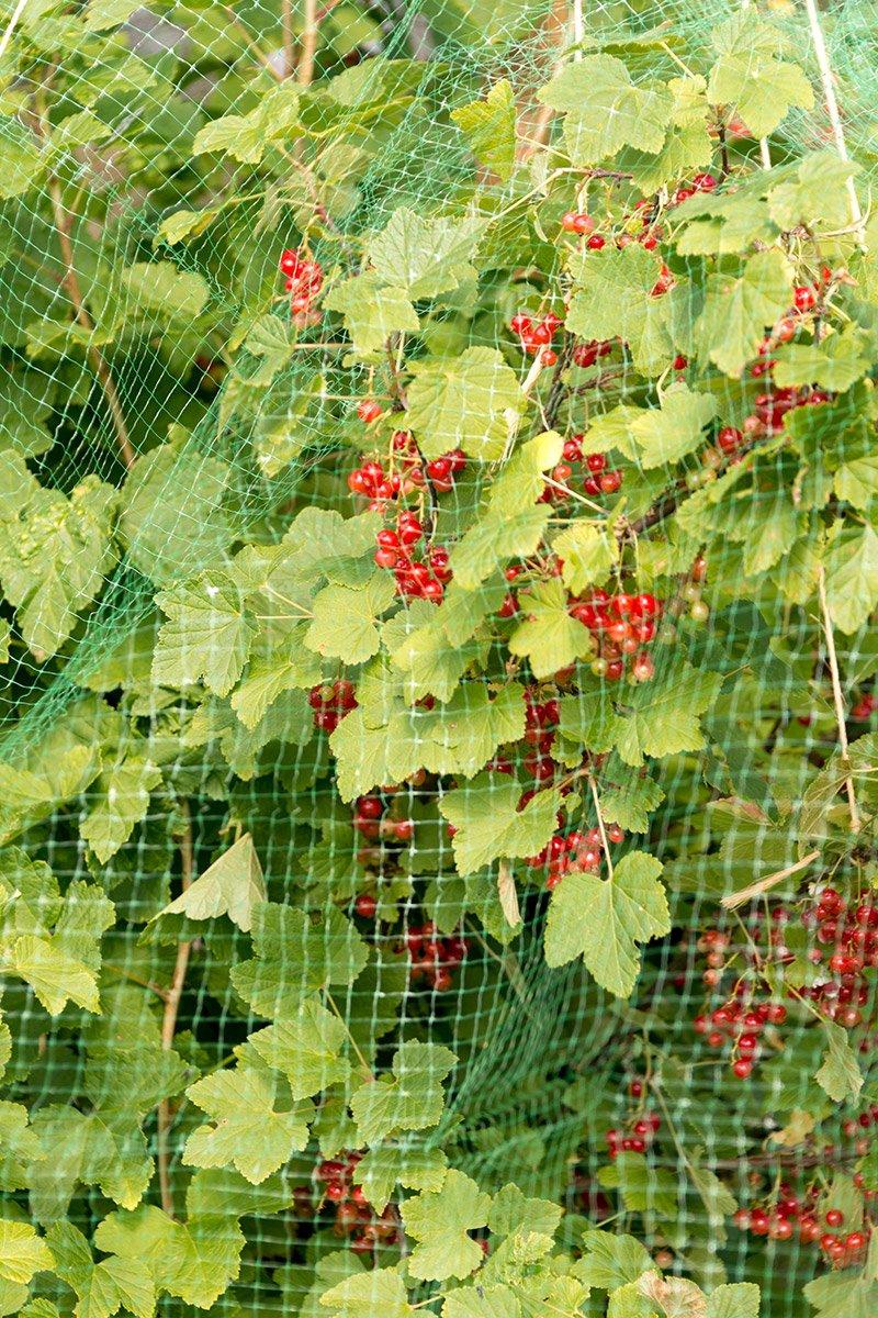 ripsbusk med netting mot fugler