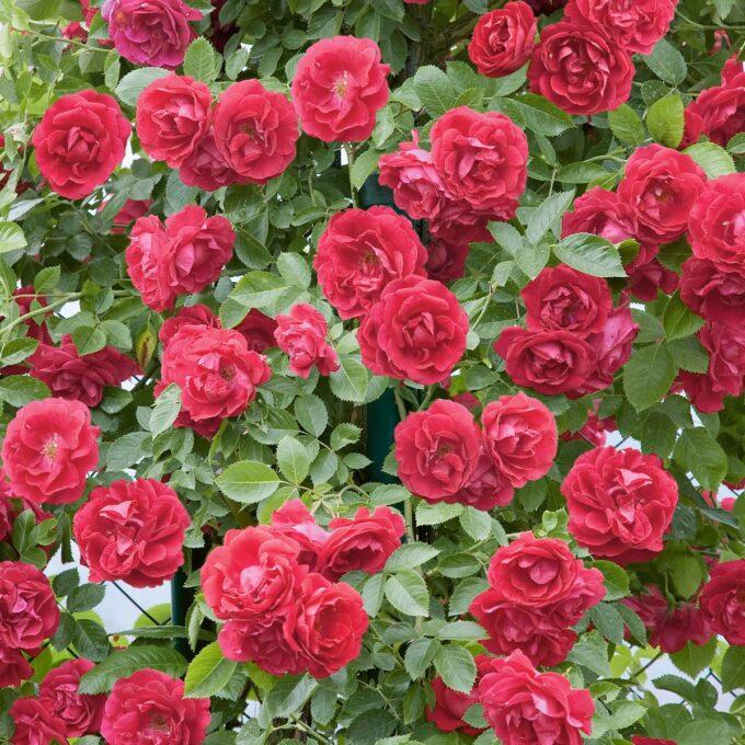 mengder av røde roser på klatrerosen Flammentanz