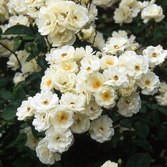 stor roseklase på moonlight hvit klatrerose