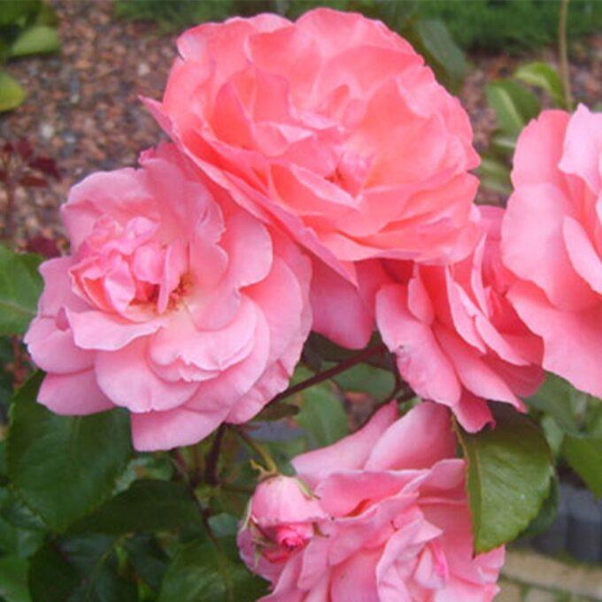 rosa stilkrose Queen Elisabeth