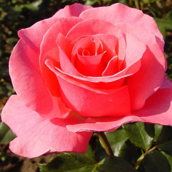 nærbilde av rosa buskrose Romanse