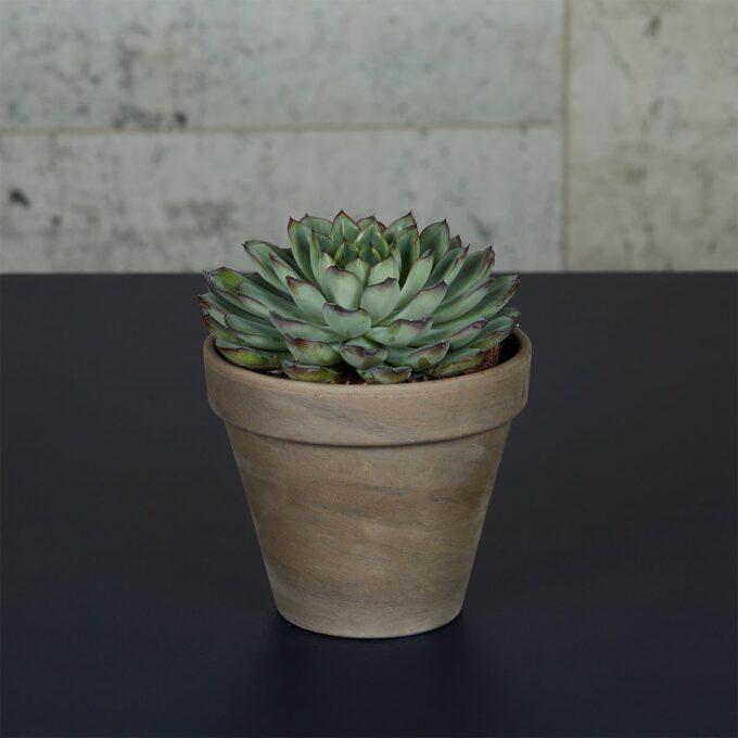Rosetturt er en lettstelt sukkulent med vakre blader, ofte i ulike farger.