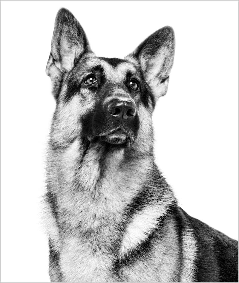 Svart-hvittbilde av voksen schæferhund