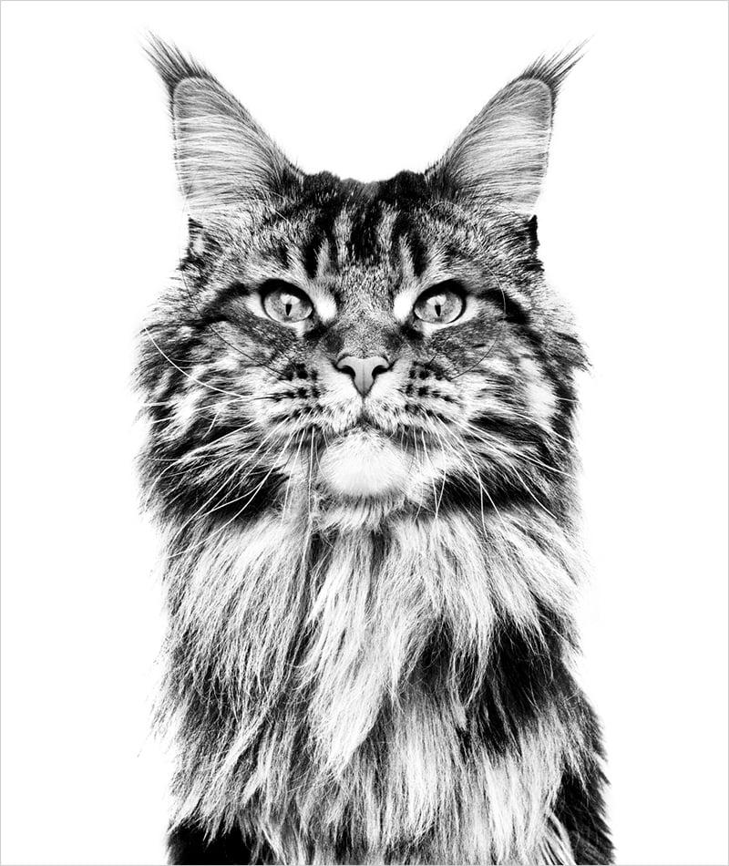 Svart-hvitt bilde av hodet til voksen Maine Coon-katt