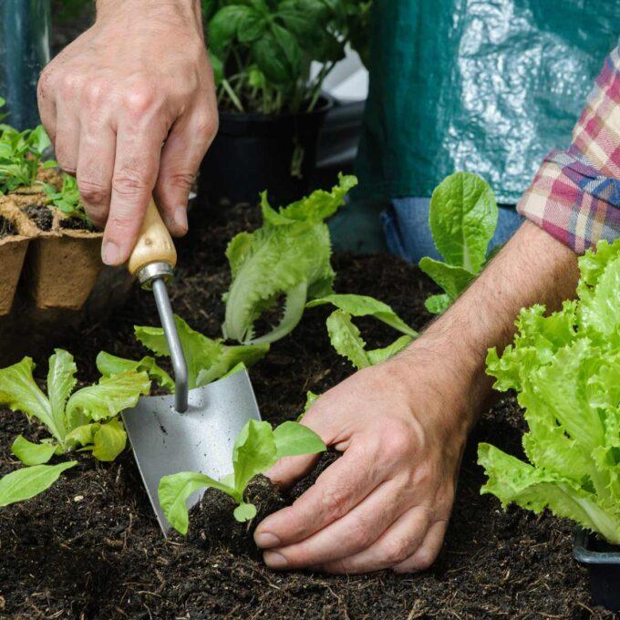 Utplanting av små salatplanter