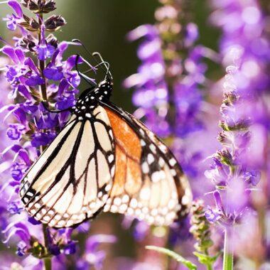 Neslesommerfugl på lilla salvieblomst