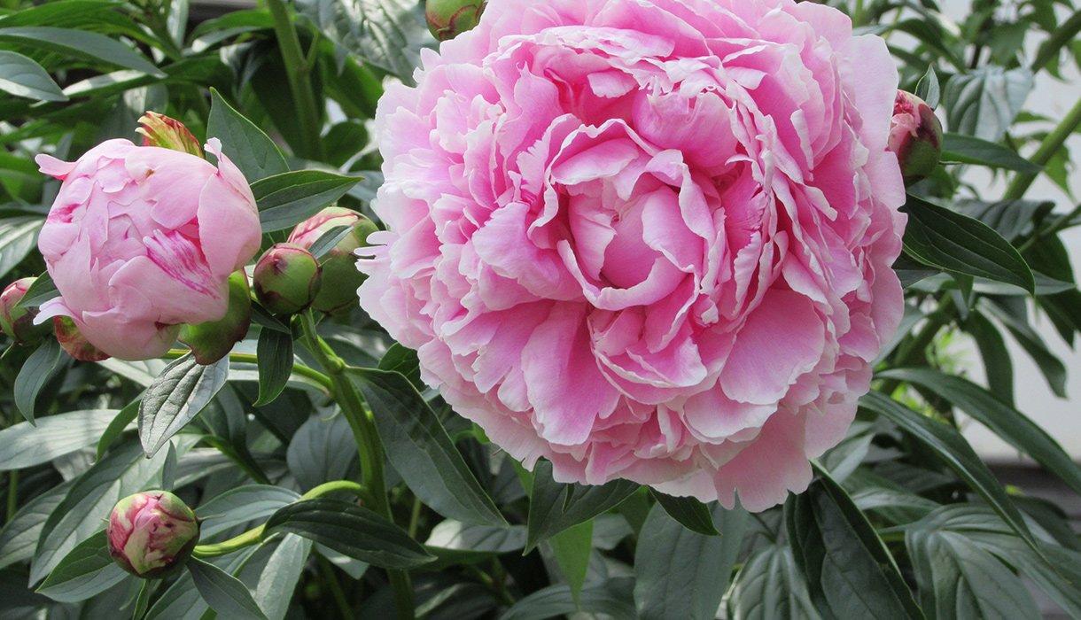 nærbilde av rosa silkepeon