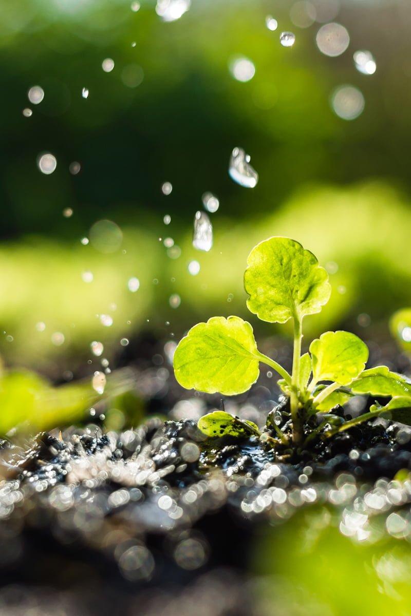 Stikling i jord og vanndråper