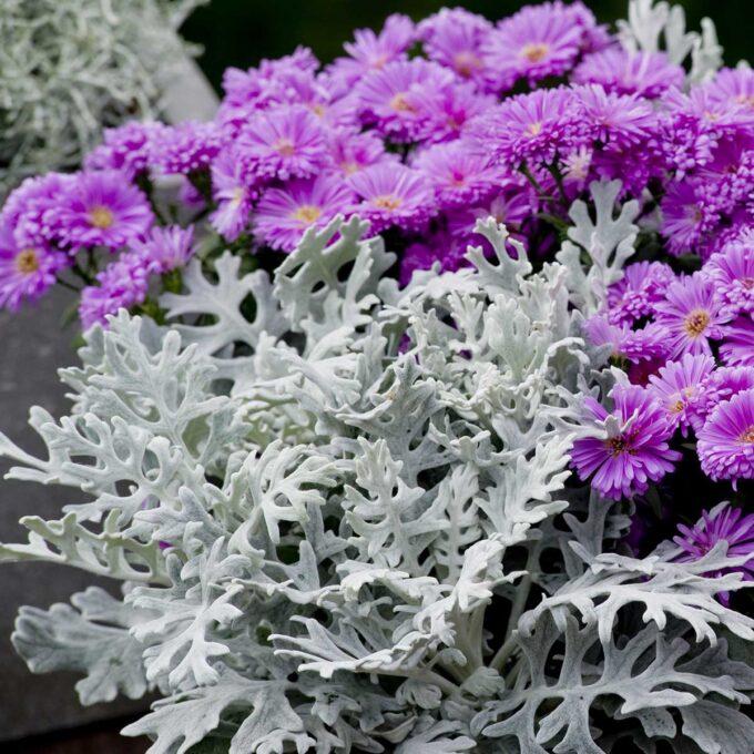 Sølvkrans i kombinasjon med andre blomster