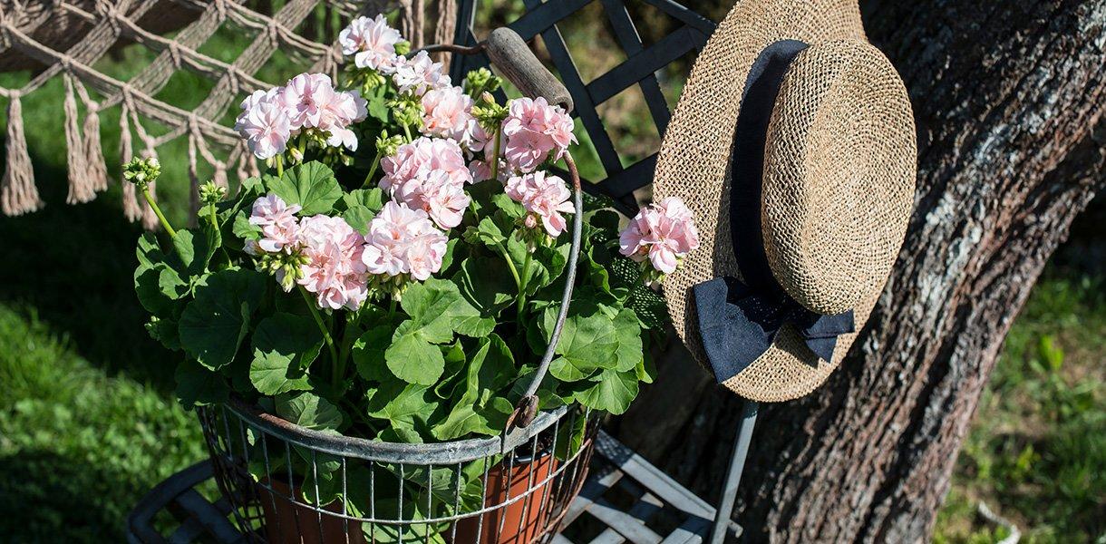 Pelargonia dronning ingrid i solfylt hage