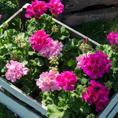 Pelargonia rosa i plantekasse