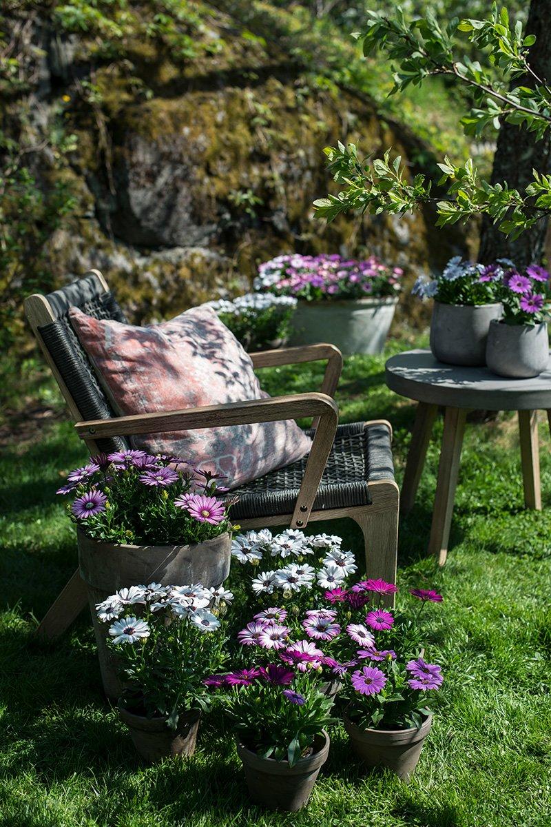 Spansk margeritt med lilla, rosa og hvite blomster i store og små potter i solfylt hage