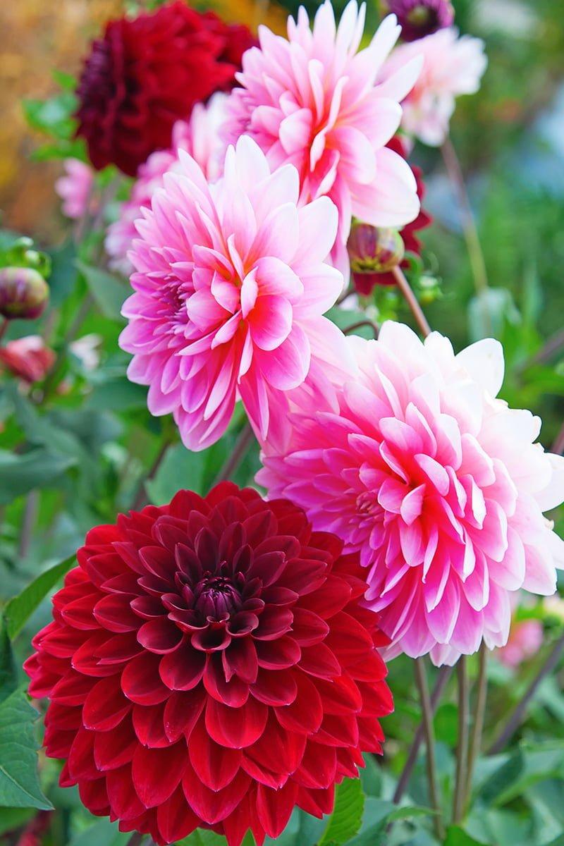 Nærbilde av rød og rosa georginer