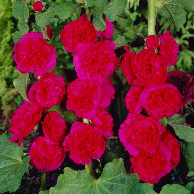 Stokkrose 'Pleniflora'