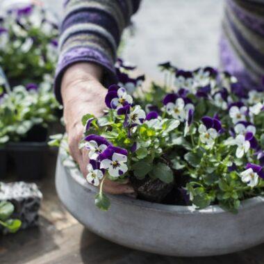 Stemorsplanter settes sammen i en større skål