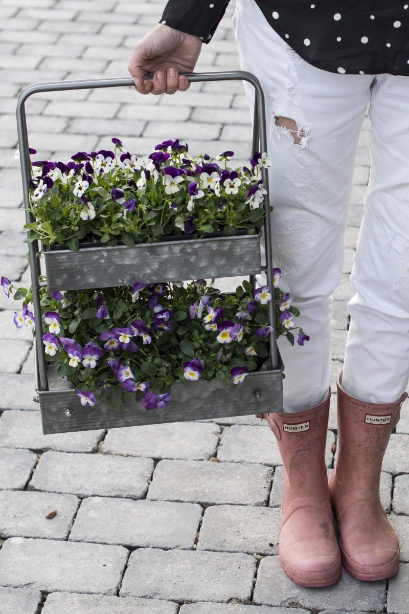Blomsterkasse med haugevis av stemor bæres av person med griserosa støvler