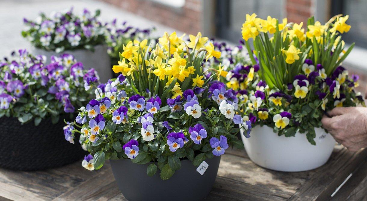 Mange flotte potter med natt og dag og små påskeliljer i solen